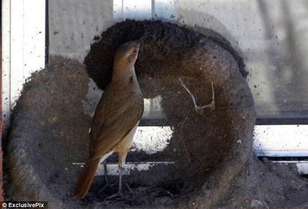 Ovenbird-mulai-membangun-sarang