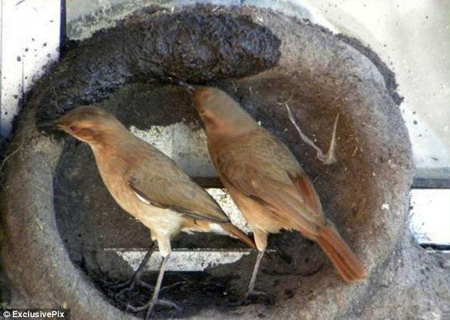 Sepasang-burung-Ovenbird