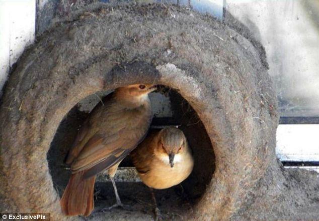 Sepasang-burung-ini-menikmati-rumah