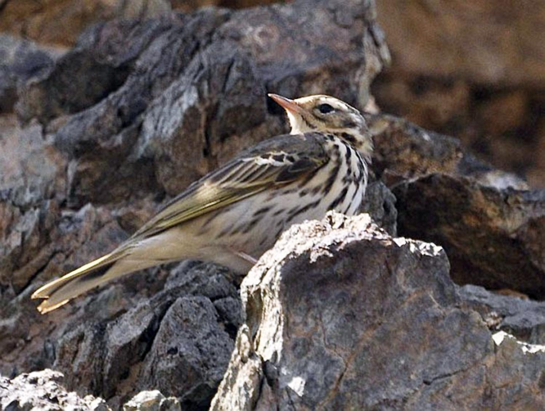 Anthus hodgsoni l Foto: orientalbirdimages.com