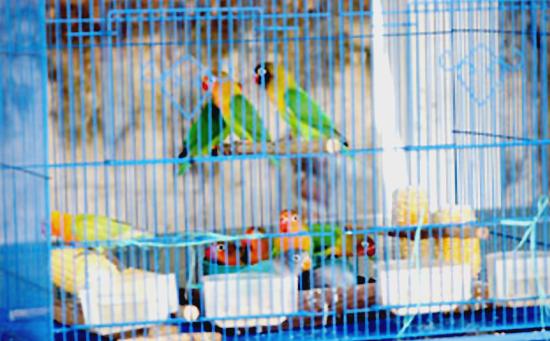Kandang anakan lovebird Ananta Bird Farm.