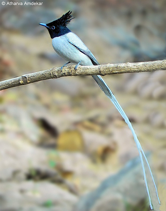 Seriwang Asia | Asian Paradise Flycatcher