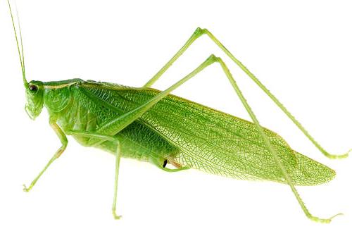 Belalang hijau mengandung vitamin E yang berguna untuk pertumbuhan bulu.