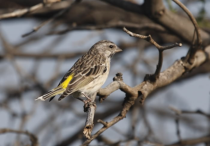 BLACK-THROATED CANARY |