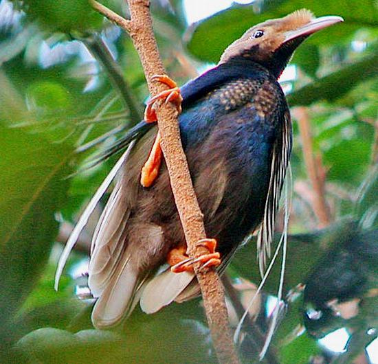 Burung bidadari: Cendrawasih mini dari Halmahera.