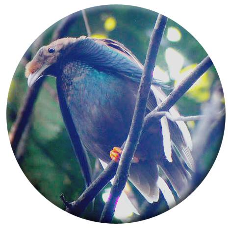 Burung Bidadari Si Cantik Dari Halmahera Dengan Suara Cetar Membahana Om Kicau