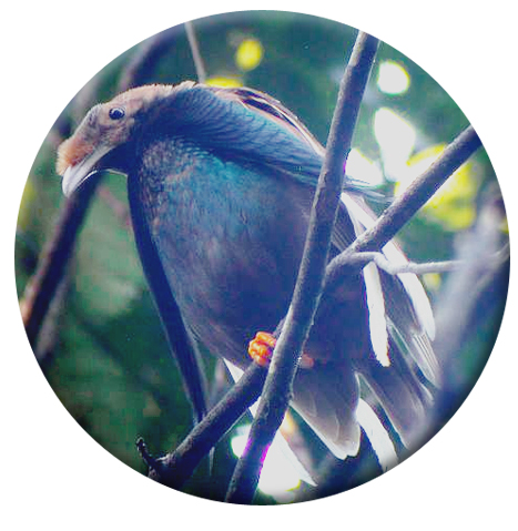 burung-bidadari2