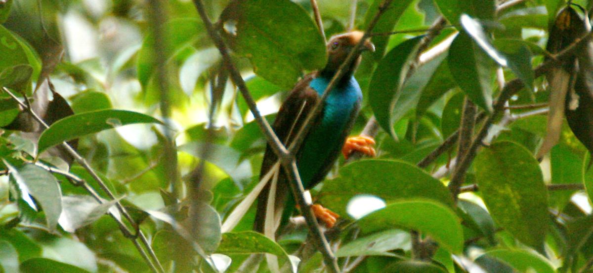 Burung bidadari hanya bisa dijumpai di hutan-hutan yang ada di Pulau Halmahera.