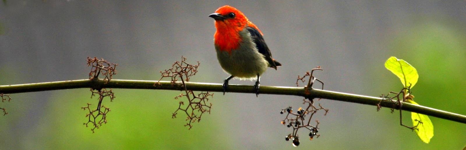 Penampilan burung kemade jantan dari depan.