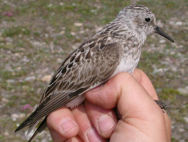 Calidris-bairdii l Foto: orientalbirdimages.com