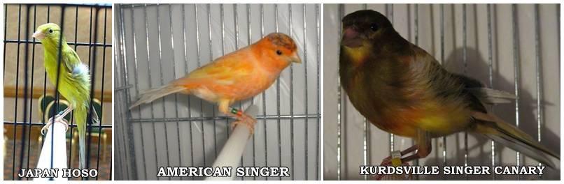 SILANGAN ANTARA JAPAN HOSO X AMERICAN SINGER MENGHASILKAN YANG DISEBUT KENARI KURDSVILLE