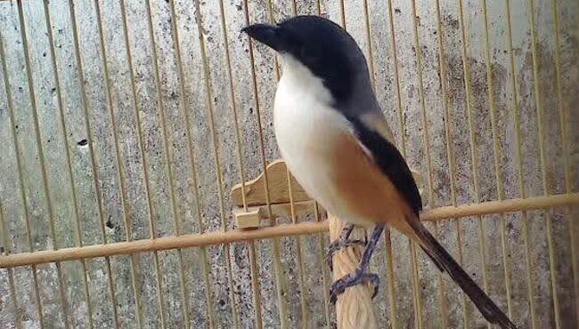 perawatan burung cendet muda