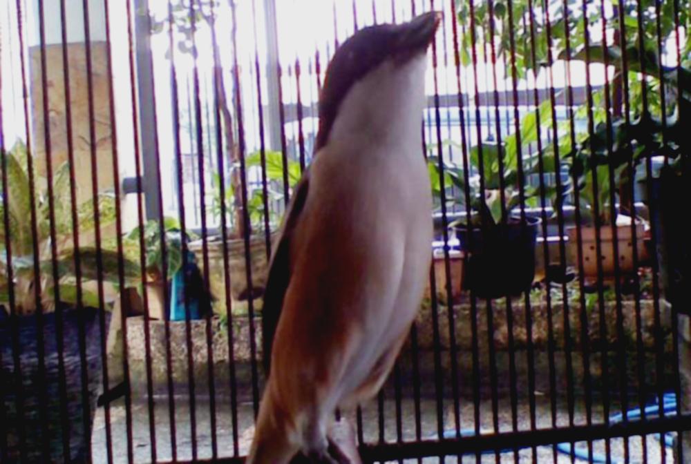 tren burung cendet jawara
