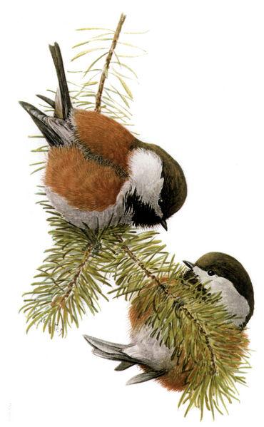 Chestnut-backed Chickadee   Poecile rufescens