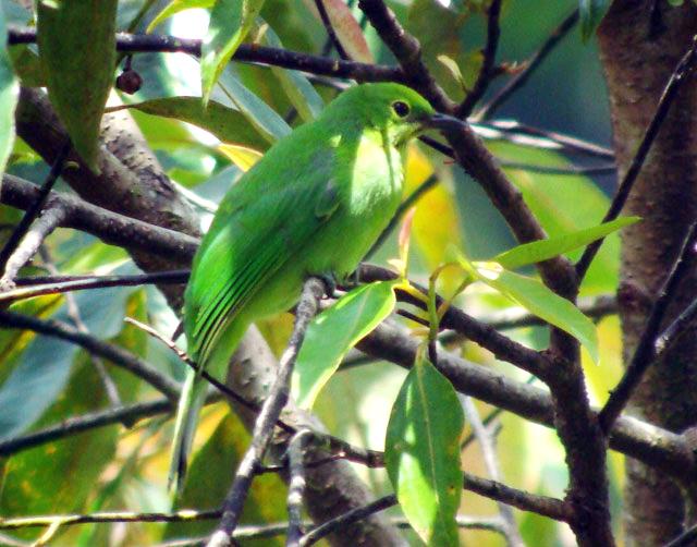Cucak hijau kepala kuning usia muda.