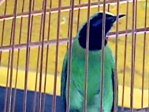 Cucak hijau kepala kuning dalam rawatan kicaumania.