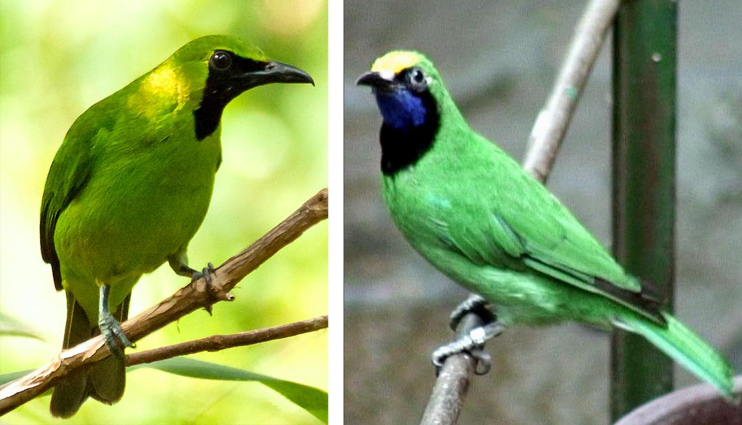 Perbedaan cucak hijau kepala kuning.(kanan) dan cucak hijau.
