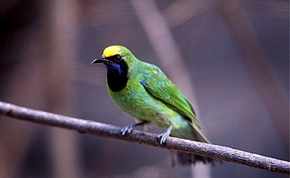 Cucak hijau kepala kuning, burung endemik Sumatera dan sudah menjadi spesies tersendiri.