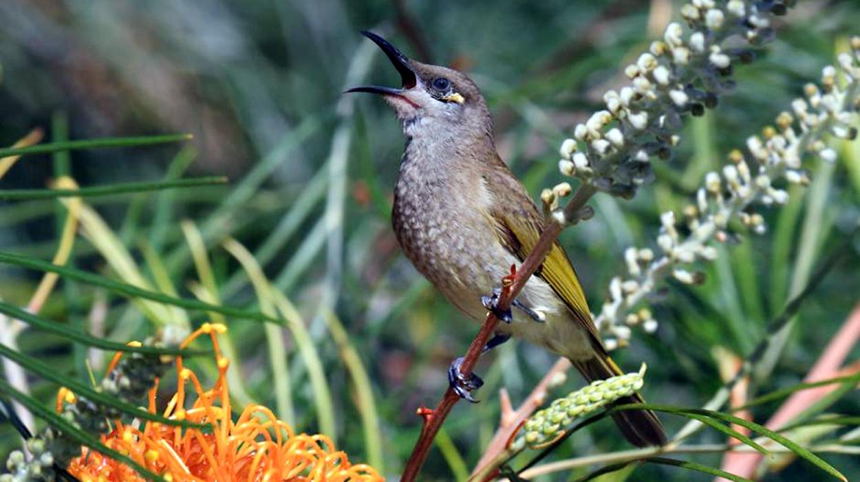 Burung isap madu atau kecial kombo atau cucak kombo