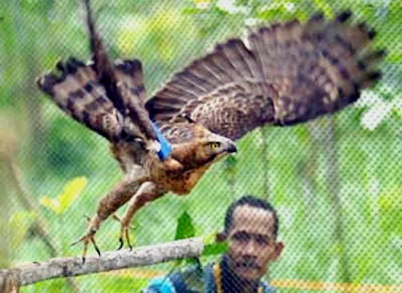 Dua tahun menjalani masa rehabilitasi dan aklimatisasi di Dusun Turgo, lereng Merapi.