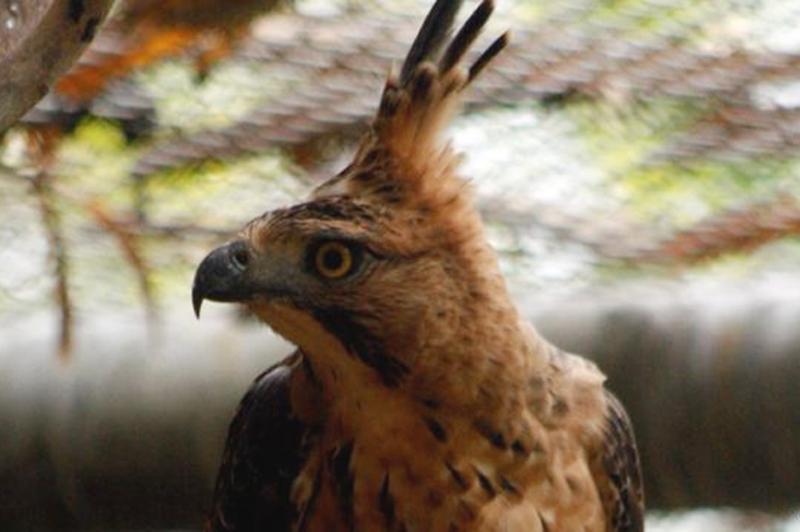 Elang jawa identik dengan burung garuda.