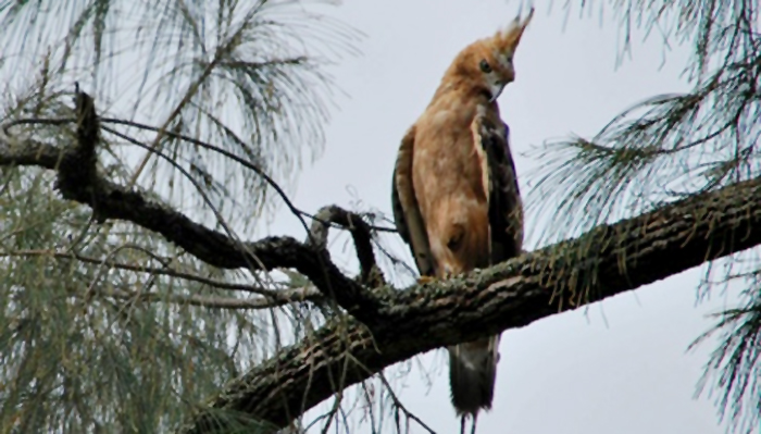 Burung elang jawa di alam bebas tinggal 200 ekor.