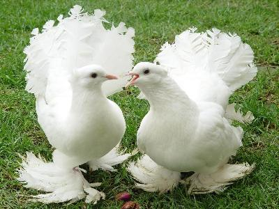 fantail-pigeon