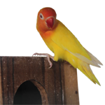 feat-lovebird2