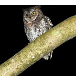 feat-rinjani-scops-owl