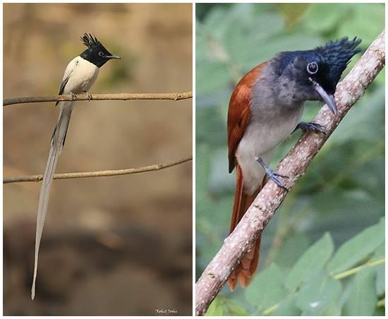 Burung Seriwang Asia Alias Tali Pocong Panjang Ekor Mencapai 30 Cm Om Kicau