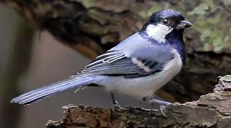Image Result For Cara Merawat Lovebird Blue Es