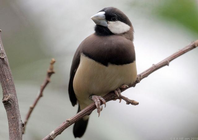 GELATIK TIMOR: Burung endemik di Nusa Tenggara Timur.