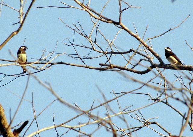 Gelatik timor di pucuk pepohonan meranggas.