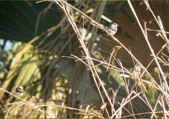 Burung gelatik timor di areal tanaman padi.