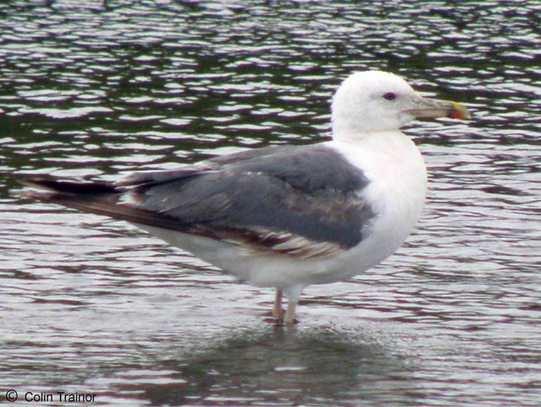 Heuglin's gull (Larus heuglini) l Foto: orientalbirdimages.com