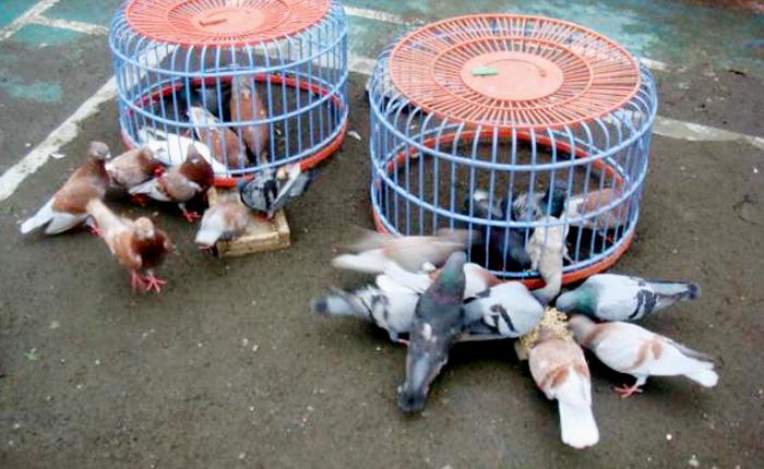 Unduh 102  Gambar Burung Merpati Balap Atas  Terbaru Gratis