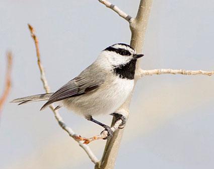 Mountain Chickadee | Poecile gambeli