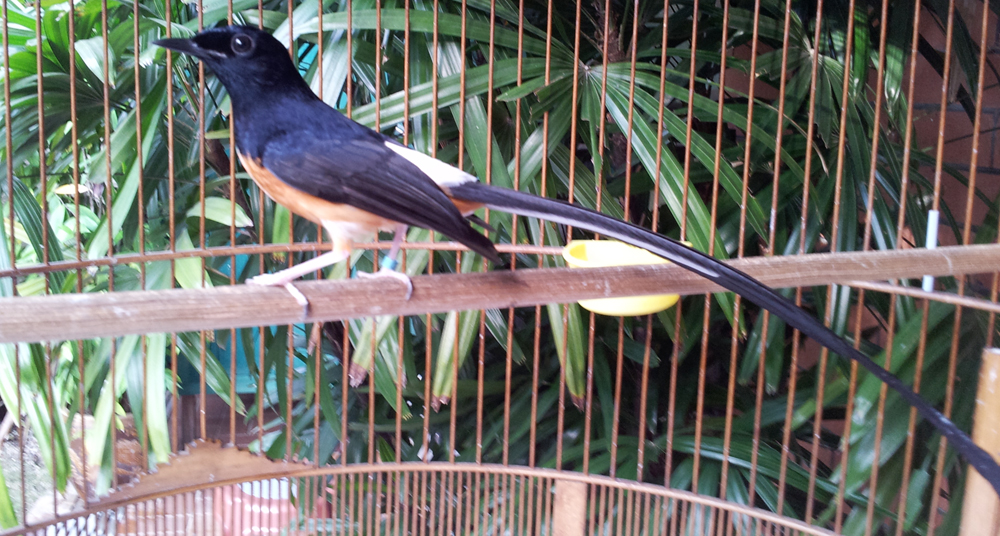 perawatan burung murai batu muda