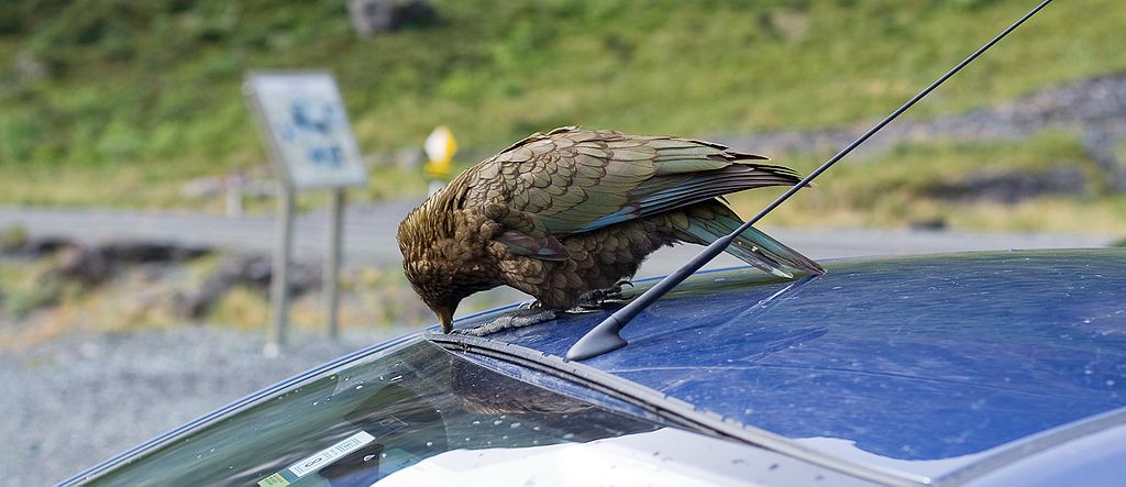 Aksi nuri kea ketika menjumpai mobil turis