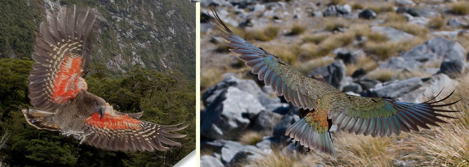 Warna sayap bagian luar (atas) dan bagian dalam (bawah).