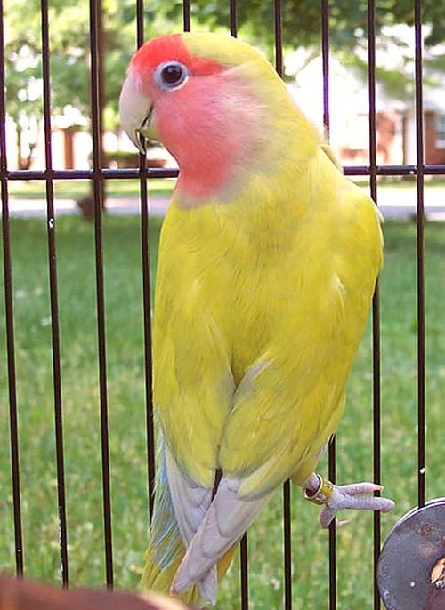 penjemuran-lovebird