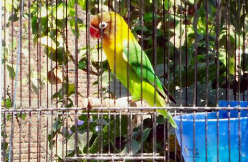 penjemuran burung lovebird