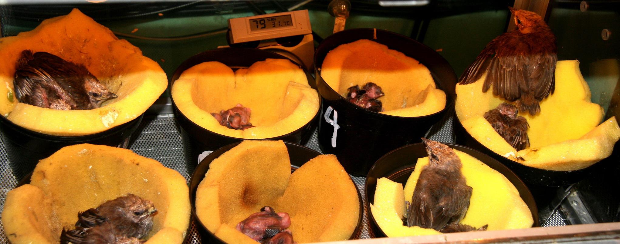 Dalam inkubator terlihat sebagian piyik yang baru saja menetas dan piyik umur 7-9 hari.