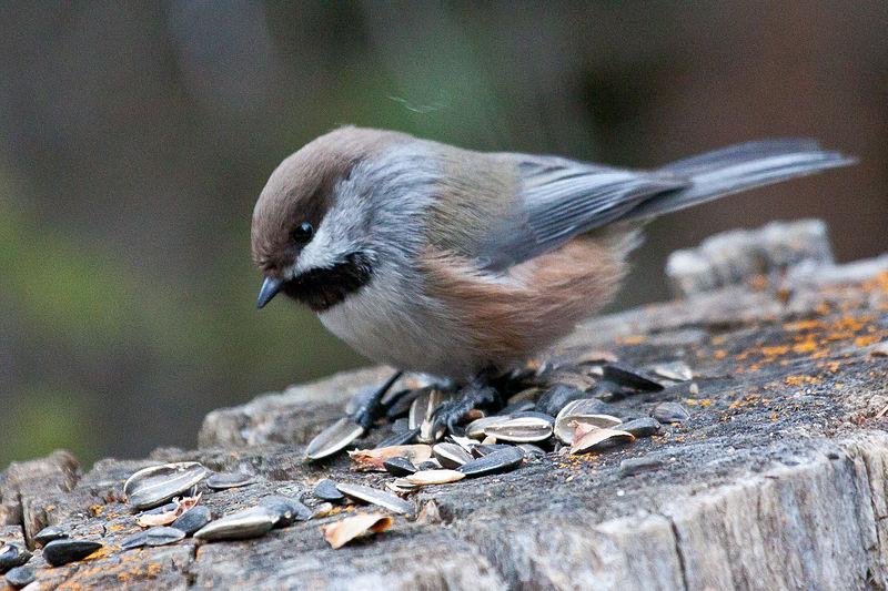 Boreal Chickadee   Poecile hudsonicus
