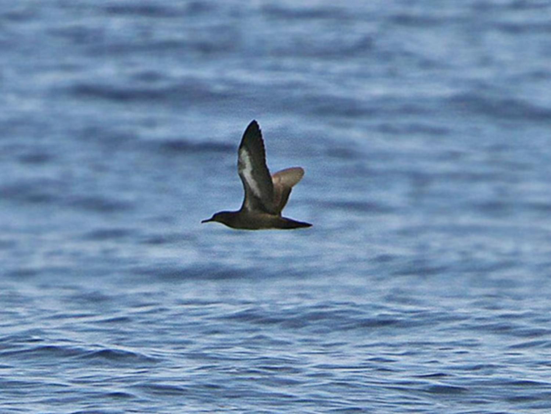 Heinroth's shearwater (Puffinus heinrothi) l Foto: orientalbirdimages.com