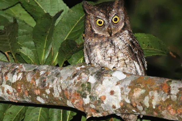 Masyarakat Lombok sudah lama mengetahui burung hantu ini, tetapi dikiranya sama seperti burung hantu lainnya.