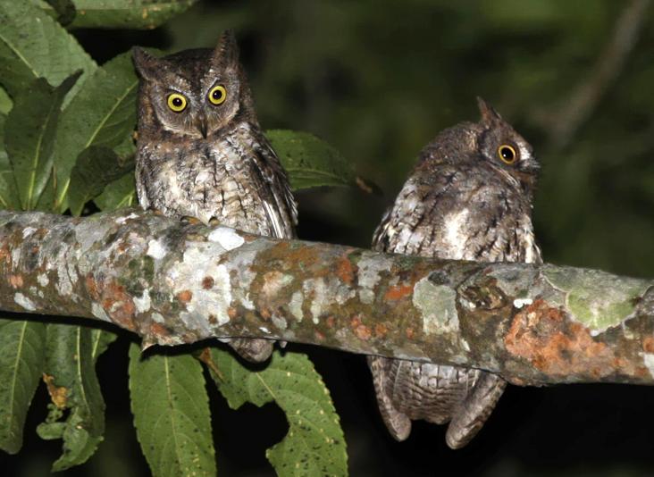 Burung Hantu Rinjani / Rinjani Scops Owl (Otus jolandae)