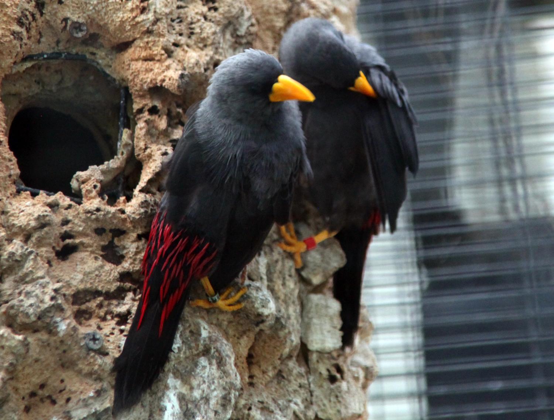 Suara burung rio-rio