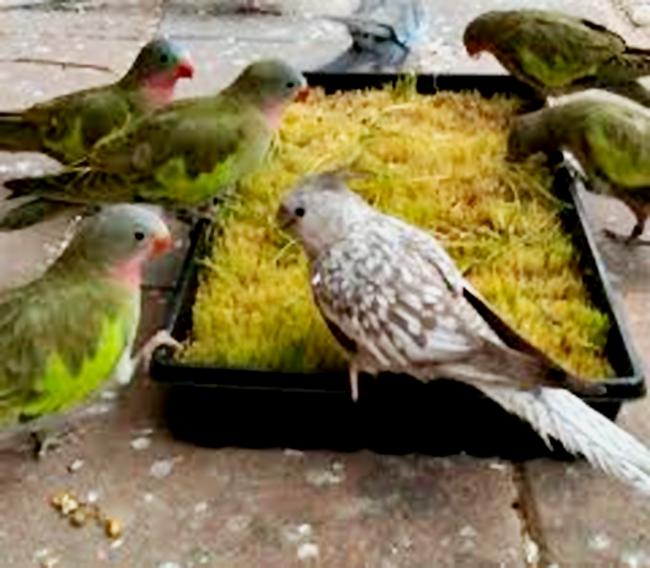 Burung-burung sedang sarapan rumput gandum.