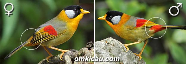 sexing burung pancawarna tahanensis